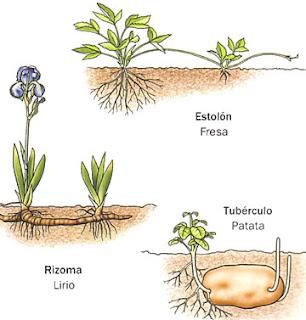 Fision reproduccion asexual de las plantas